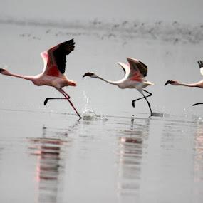get set go...... by Vijayendra Desai - Animals Birds ( pwctaggedbirds, Bird in flight, bif )