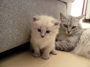 Photo: Quinlan (blue tabby point) 1 mes