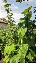 Photo: Fasole (Phaseolus vulgaris) - din Gherla, Str. Romana, Nr.37 - 2019.08.02