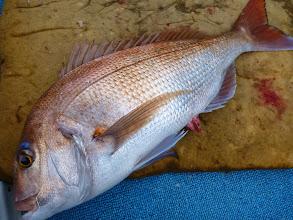 Photo: いいサイズの真鯛だー!