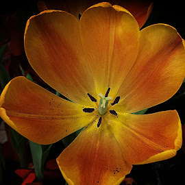 Wide Open Tulip by Millieanne T - Flowers Single Flower