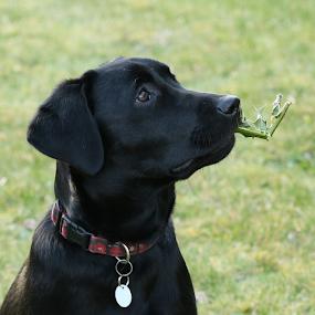 Poppy by Griff Johnson - Animals - Dogs Portraits ( holly, puppy, labrador, black labrador )