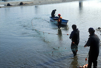 Photo: Net fishing for dog salmon (Oncorhynchus keta) at the Tokachi River In Hokkaido. Photo courtesy of Akira Matsui. Netting is highly productive as well.