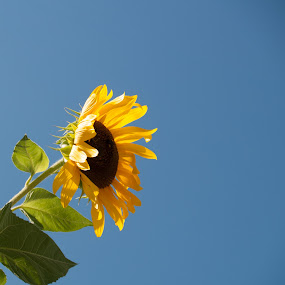 Sunflower and Blue Sky by Gwyn Goodrow - Flowers Single Flower ( petals, sunflower, bloom, yellow, stem, flower, hope,  )