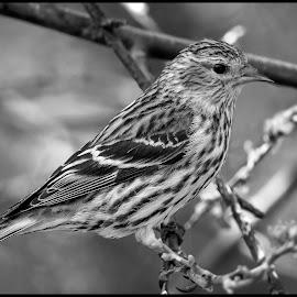 Pine Siskine by Dave Lipchen - Black & White Animals ( pine siskine )