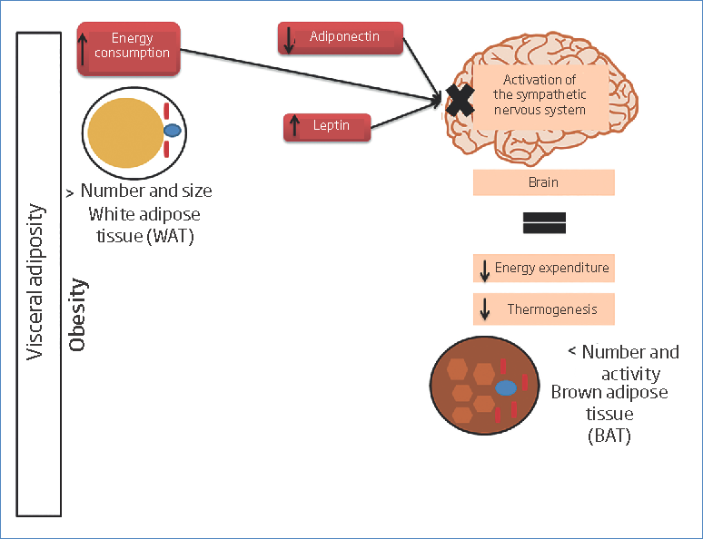 Obesity effect in the white and brown adipose tissue. An increase in visceral adiposity, caused by the number and size of WAT increase, will alter thermogenesis, decreasing that which takes place in BAT due to the loss of activity leaded by the SNS, and favoured by the leptin increases and the adiponectin reduction, causing a decrease in energy gain.