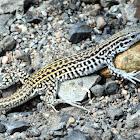 Colorado Checkered Whiptail
