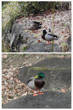 Photo: 撮影者:sayoko sato 鳥名:マガモ タイトル: 観察年月日:2014年1月5日 羽数:♂1羽、♀1羽 場所:東中野公園の池 区分:行動 メッシュ:武蔵府中3F コメント:マガモは♂と♀が仲良く水の中にいたが、やがて♂だけが陸に上がって♀はずっと水の中だった。