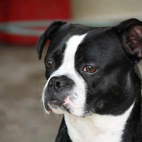 Princess by Leslie Hendrickson - Animals - Dogs Portraits ( dog portrait, dog,  )