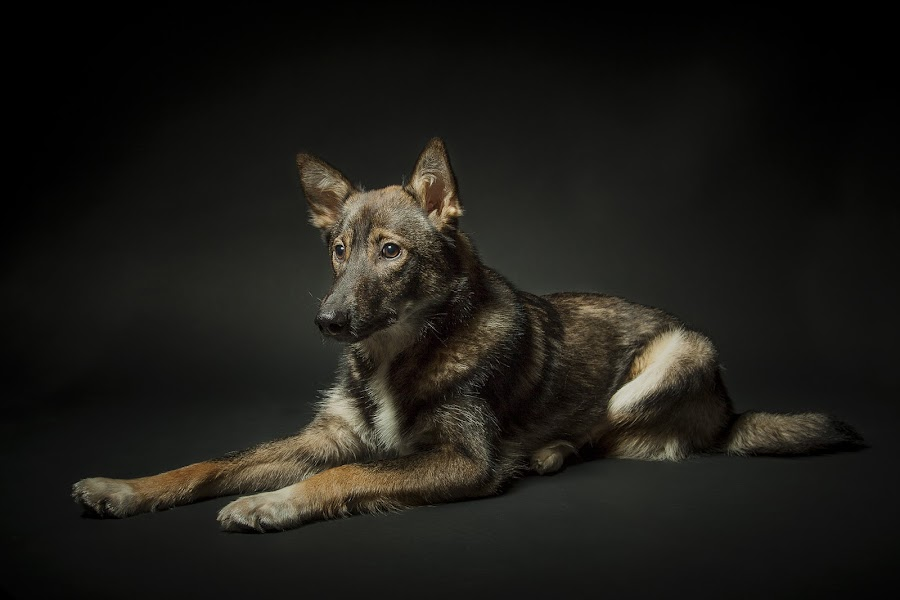 by Jerry Sjödin - Animals - Dogs Portraits ( canon, pet, dog portrait, dark background, dog, photography, portrait,  )