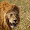 León (Lion)