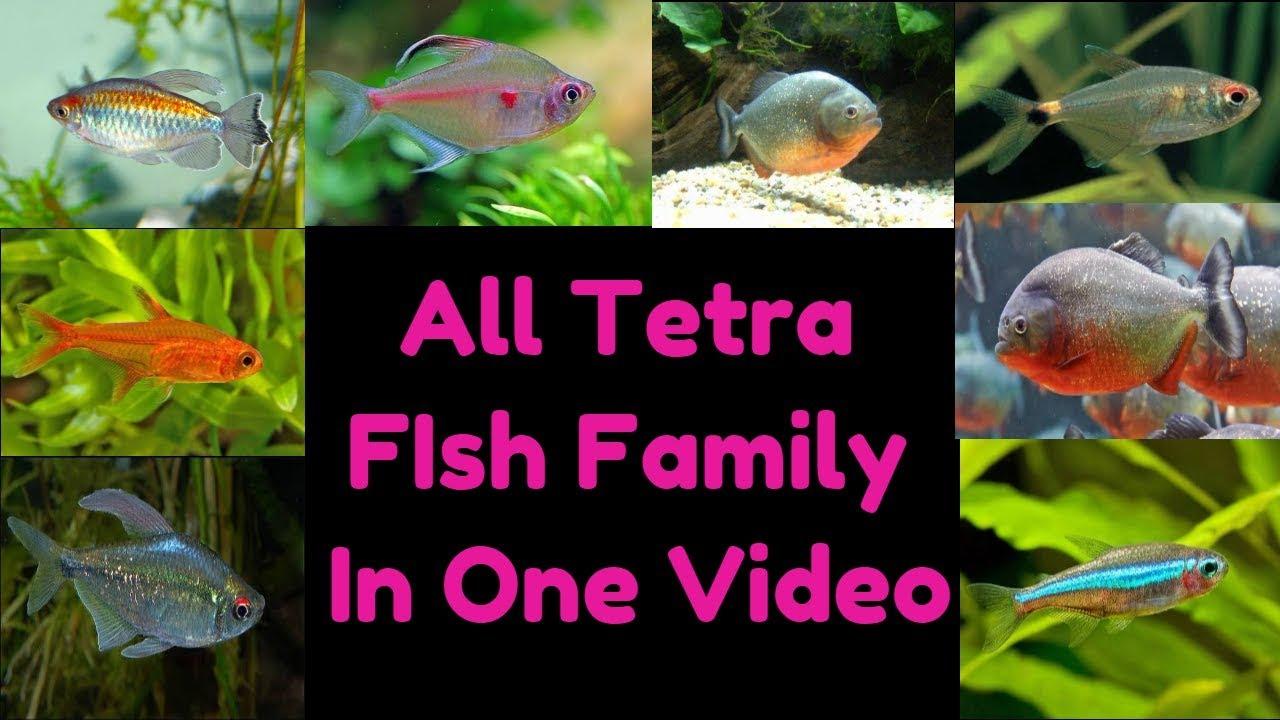 tetra fish family