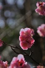 Photo: 数年前に比べて樹勢は衰え花の状態も年々悪くなっており、(2014,03,19)
