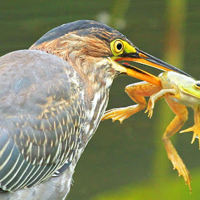 Gotcha! by Steve Shelasky - Animals Birds ( nature, frog, green heron, prey, yellow eyes, eyes,  )