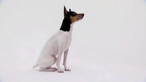 English Sheepdog, Chow Chow, Toy Fox Terrier, Brittany, Miniature Schnauzer thumbnail