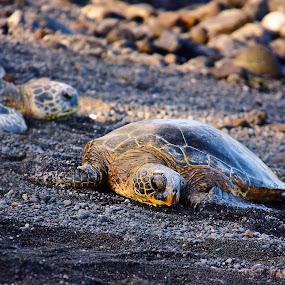 Punalu'u Honu by Aaron Gould - Animals Reptiles