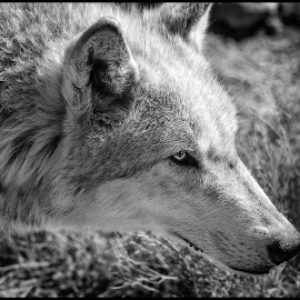 Gray Wolf by Dave Lipchen - Black & White Animals ( gray wolf )