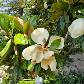 by Agatanghel Alexoaei - Flowers Tree Blossoms