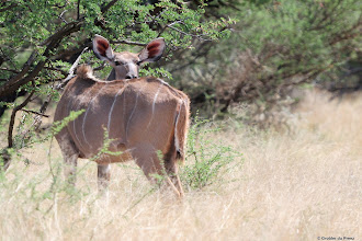 Photo: What happened to my head? A Kudu cow in the Mokala National Park