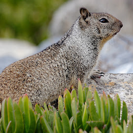 Ground squirrel by Gérard CHATENET - Animals Other Mammals