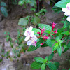 Monochaetum shrub