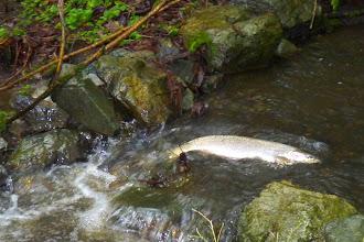 Photo: Female Steelhead moving upstream in Oswald Creek.