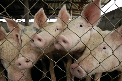 Outbreaks of African swine fever have also been recorded in Myanmar, Laos, Philippines, Vietnam, Cambodia and East Timor.