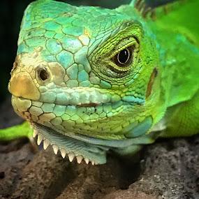 Beautiful Lizard! by Nicholas Cain - Instagram & Mobile iPhone