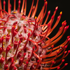 pincushion protea flower by Fabienne Lawrence - Flowers Single Flower ( nature, macro photography, protea, flower )