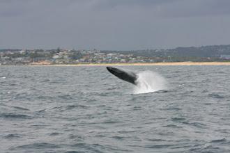 Photo: Breaching humpback whale (blurry)