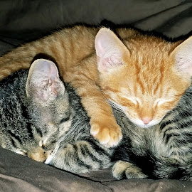 sibling love by Alyce Givarz - Animals - Cats Kittens ( love, cuddly, siblings, cat, kittens,  )