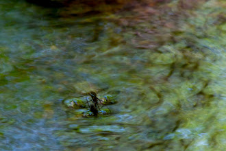 Photo: Walking on water  I watched this guy for a few minutes before I thought to photograph him. It was absolutely mesmerizing to watch him flit up and down the rushing stream.  #365project curated by +Susan Porter and +Simon Kitcher