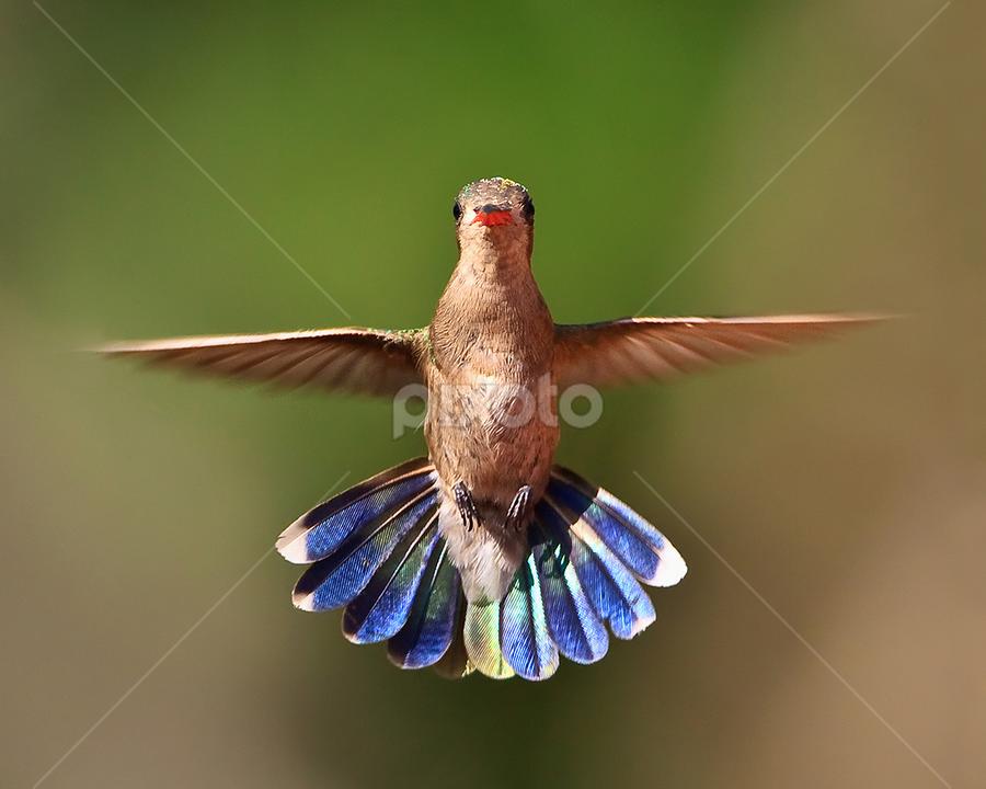 Head On Hummer by Herb Houghton - Animals Birds ( fantastic wildlife, hummer )