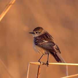 Pied Bushchat by Manoj Kulkarni - Animals Birds ( bushchat, warm, nature, light, bird, wildlife )