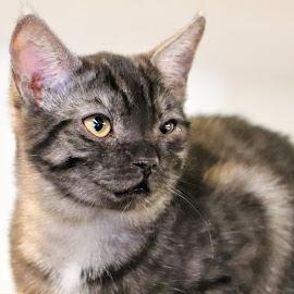 by Linda    L Tatler - Animals - Cats Kittens ( kitten, feline, cat, animal, black tabby, pet )