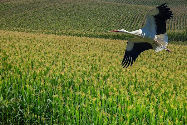 In volo sul grano di mami