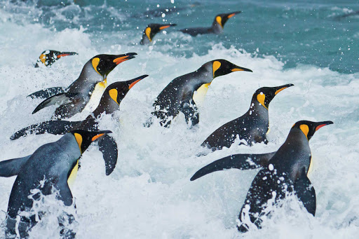King penguins wade into the surf in the Salisbury Plain seas during a Lindblad Expeditions tour.