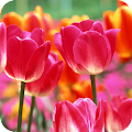 Tulips Wallpaper Best HD APK