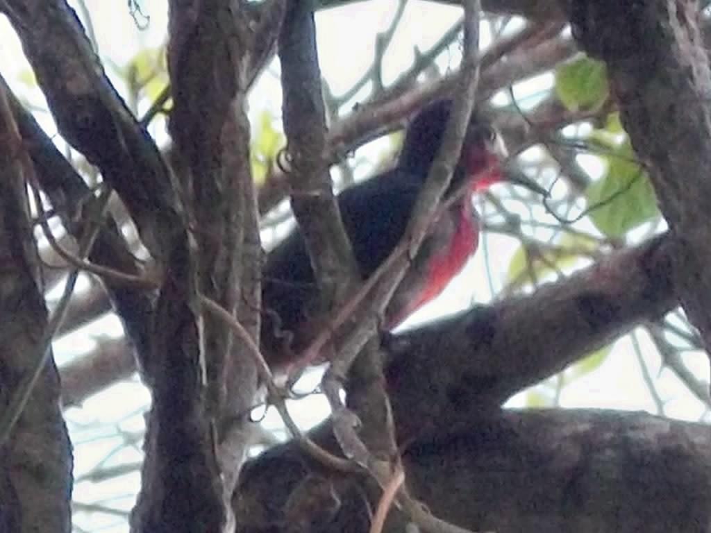 Carpintero de Puerto Rico/ Puerto Rican Woodpecker