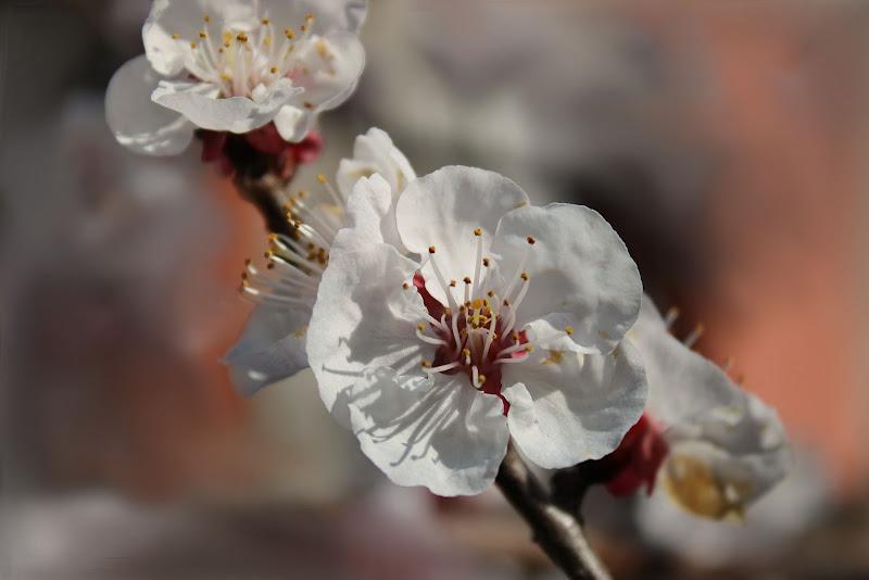 Albicocco in fiore di sarazart