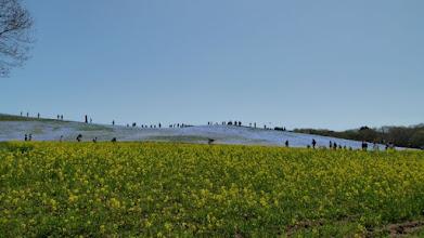 Photo: 菜の花と遠方のネモフィラ