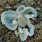 White-V Octopus
