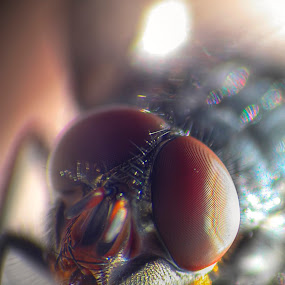 House Fly by Dragan Gavrillo Velickovic - Animals Insects & Spiders ( macro, fly, house fly, head, insect, insects )