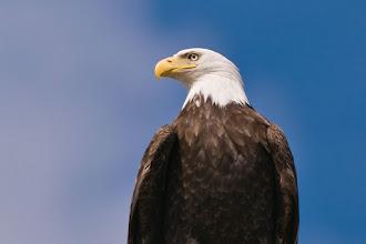 Photo: Bald eagle at Sitka marina