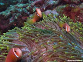 Photo: #013-Poissons-clowns des Maldives dans leur anémone sur le site de One Palm Reef. Club Med Kani.