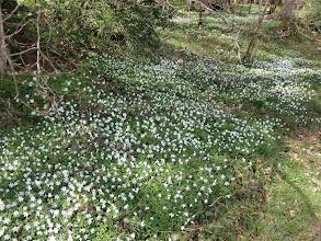 Photo: A carpet of anemones