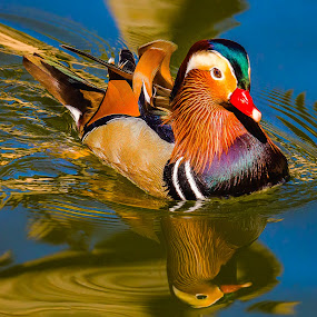 Mandarin Duck by Dave Lipchen - Animals Birds ( mandarin duck )