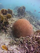 Photo: Massive starlet coral (Siderastrea siderea) in seaward slope