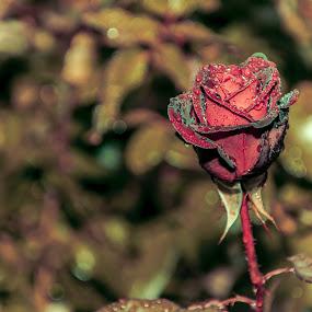 morning rose by Iana Udrea - Nature Up Close Flowers - 2011-2013 ( rose )