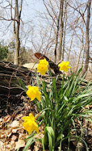 Photo: Yellow daffodils by a fallen log at Hills and Dales Park in Dayton, Ohio.